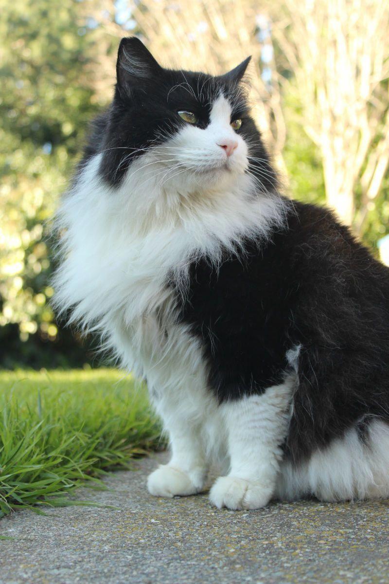 Norwegian Forest Cats Legendary Warriors catcatcatcat Cat