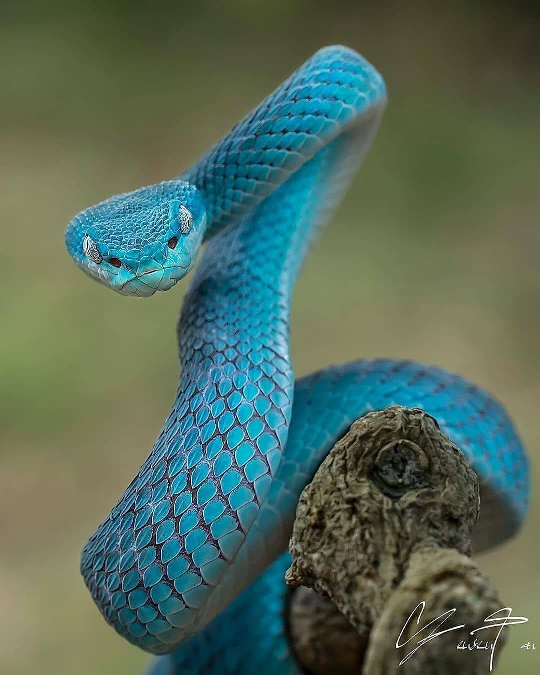 L'animal Le Plus Dangereux Du Monde : l'animal, dangereux, monde, Animaux, Dangereux, Monde, L'Homme, Belas, Cobras,, Animais, Repteis,, Serpente