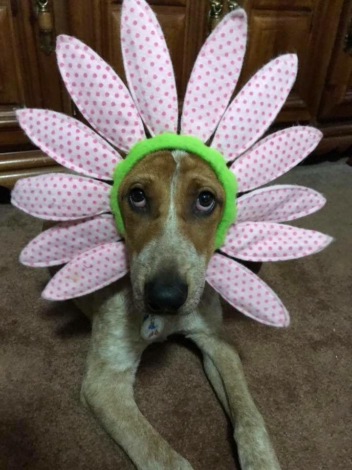 Daisy halloween dog costume dog halloween costumes