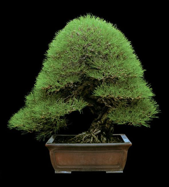A famous japanese black pine from the nursery of mr kunio for Famous bonsai trees
