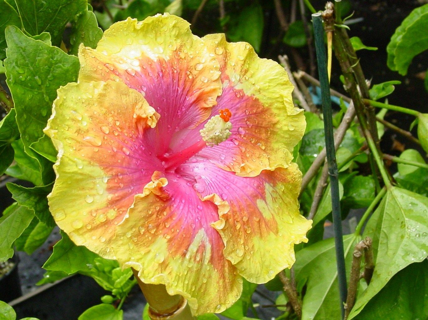 Path americas favorite hibiscus landscaping pinterest the path hibiscus izmirmasajfo Image collections