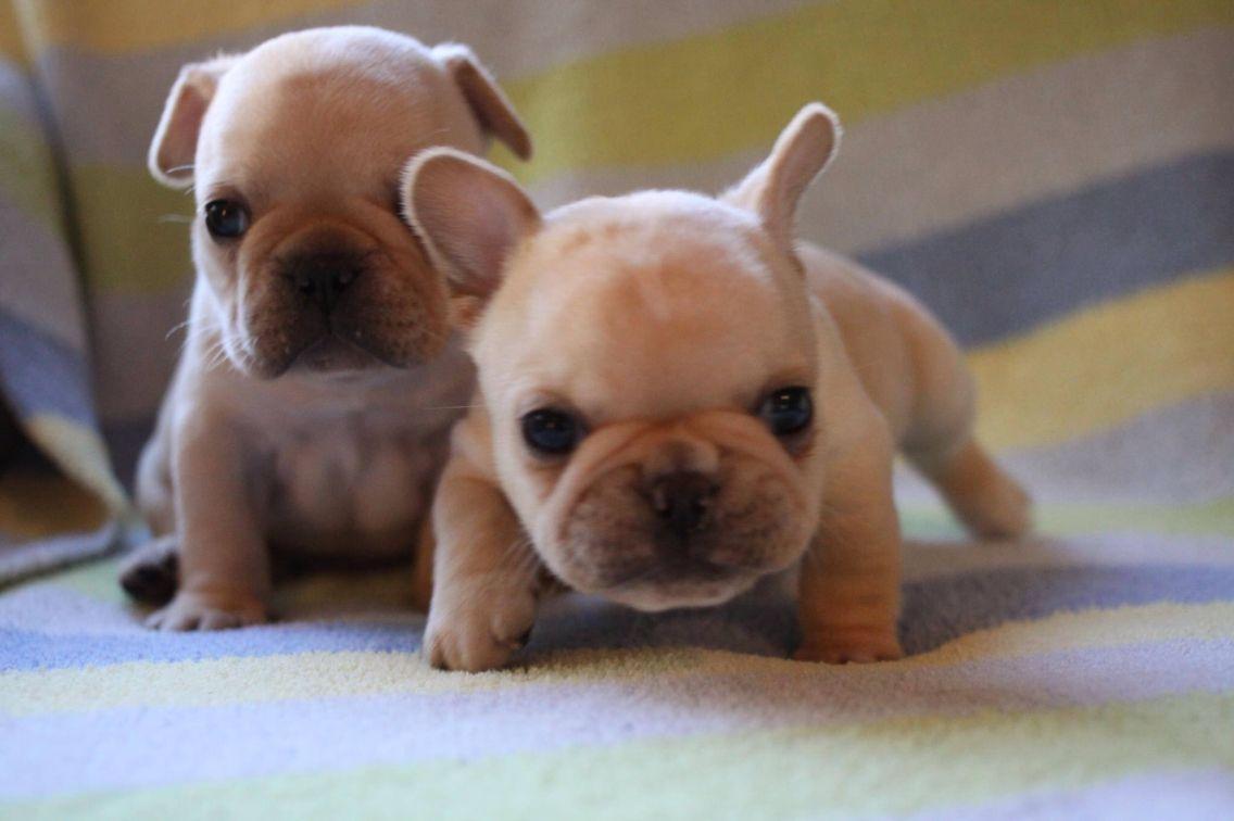 French bulldogs baby french bulldog french bulldog