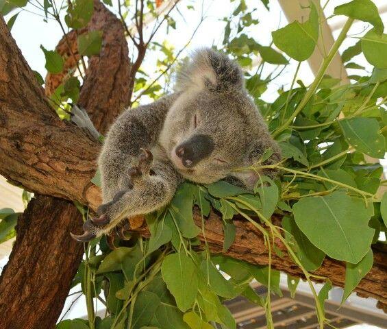 Nap Time For This Koala Koalas Pinterest Baby Koala Animals