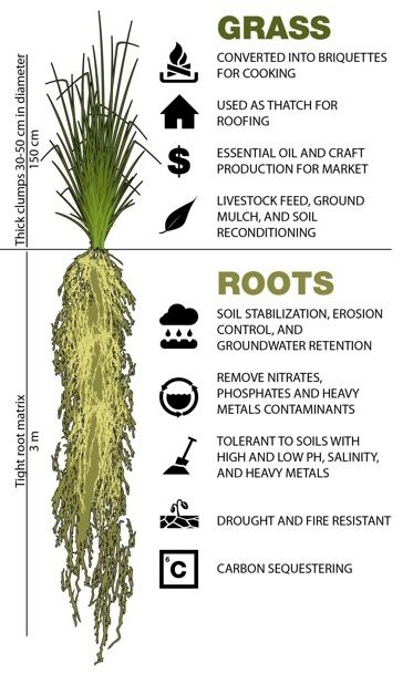 The Vetiver Approach Home Permaculture Design Trees To Plant Plant Roots