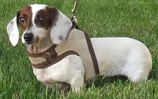 Meet Maudie, a Petfinder adoptable Dachshund Dog | Lebanon, OH | Maudie is almost 2-1/2 years old and weighs 7 lbs.  She is a brindle and white piebald little girl....