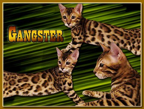 Bengal Cat Breeder With Bengal Kittens For Sale In Florida