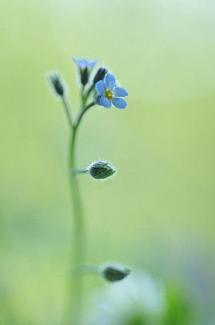 forget-me-not | Flickr - Photo Sharing! © ❤️