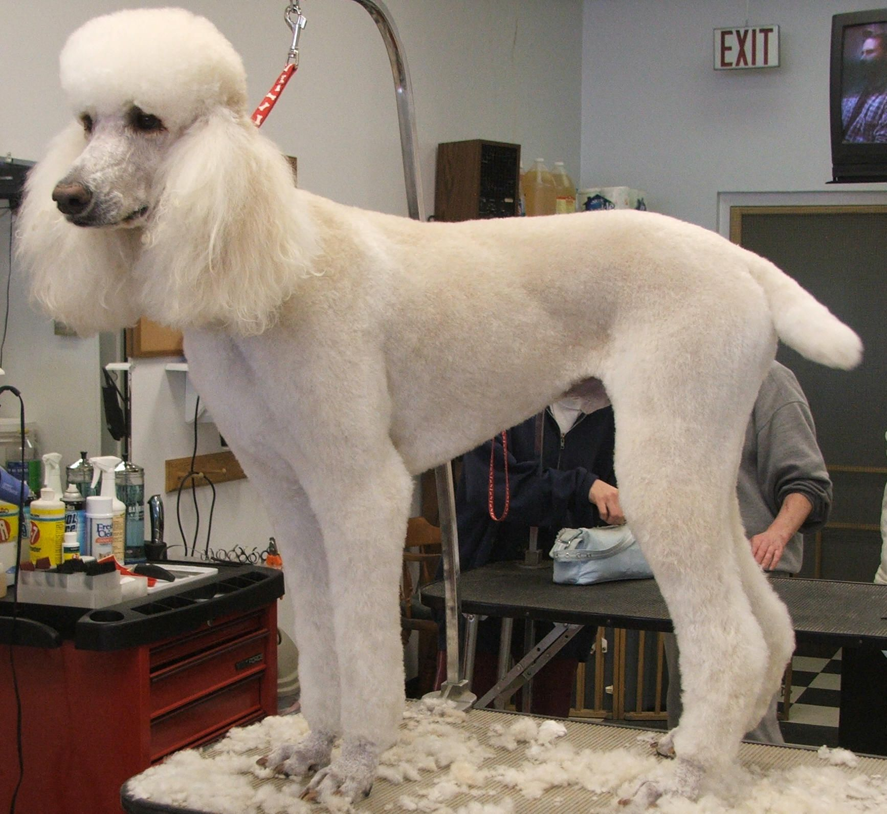 Poodle With Images Standard Poodle Haircuts Poodle Grooming