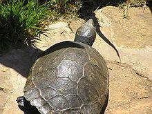 Tropical Paradise Fish: Madagascan big-headed turtle (Erymnochelys madagascariensis) http://www.tropicalparadisefish.com/2012/08/madagascan-big-headed-turtle.html