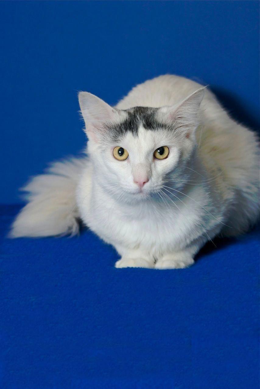 Kennedy A Young Cat For Adoption Turkishagora Turkishvan Turkish