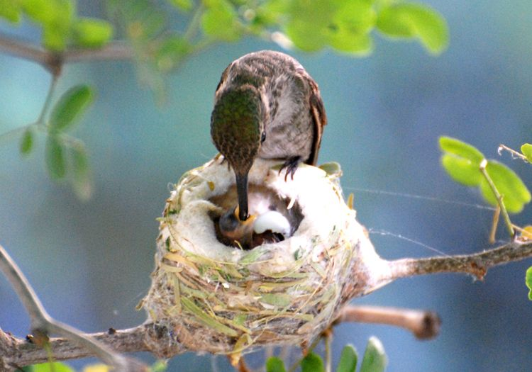 hummingbird mother bends over to feed newly hatched baby arizona