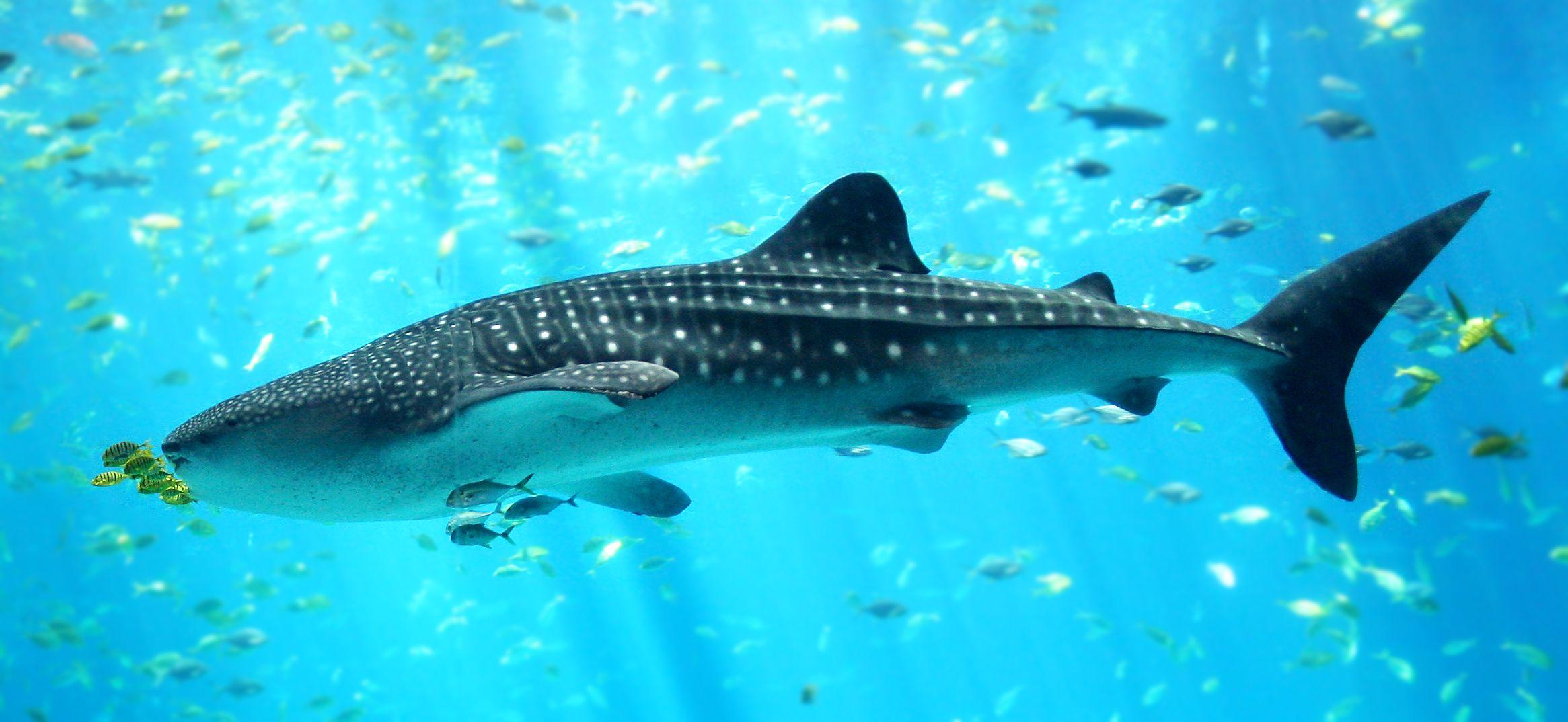 tiburón ballena wallpaper - Buscar con Google   Tiburones ...