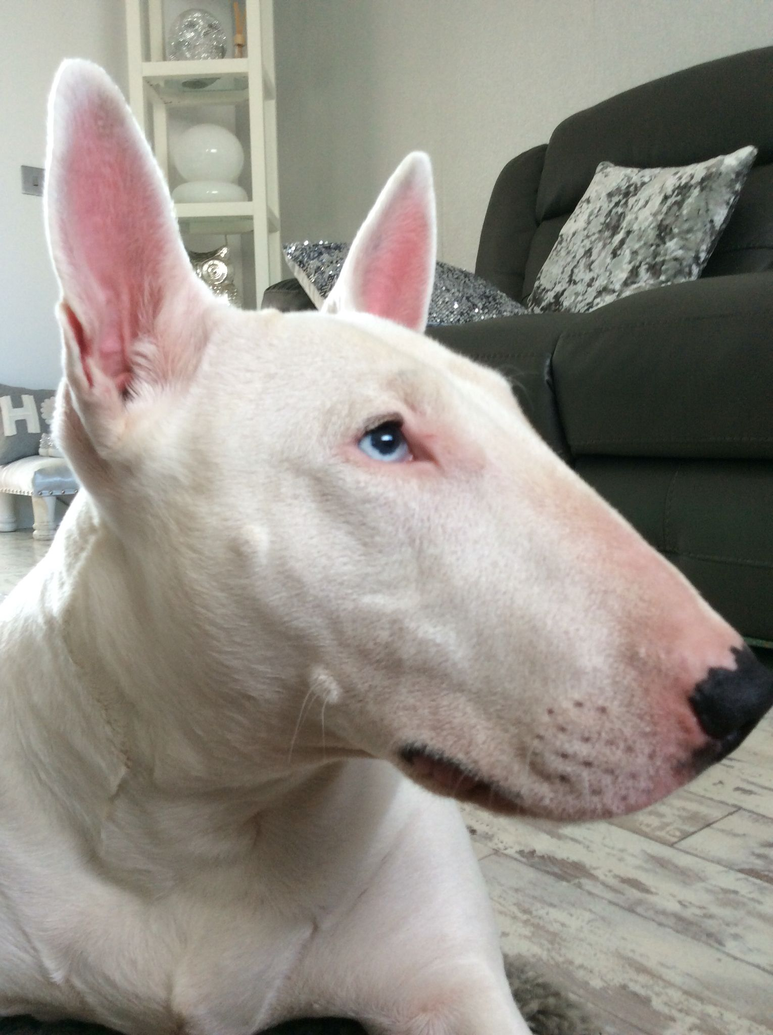 English Bull Terrier Blue