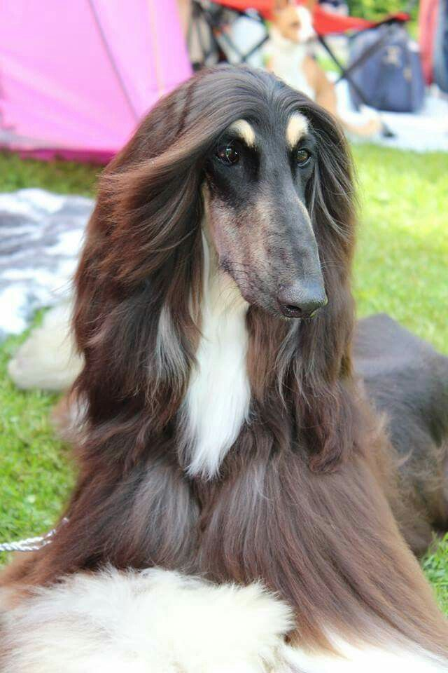 Magnificent Black And Tan Afghan Hound Pretty Dogs Hound Breeds