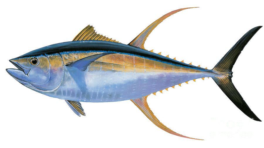 Yellowfin Tuna Painting Yellowfin Tuna By Carey Chen Art