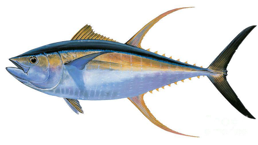 Yellowfin tuna painting yellowfin tuna by carey chen for Ahi tuna fish