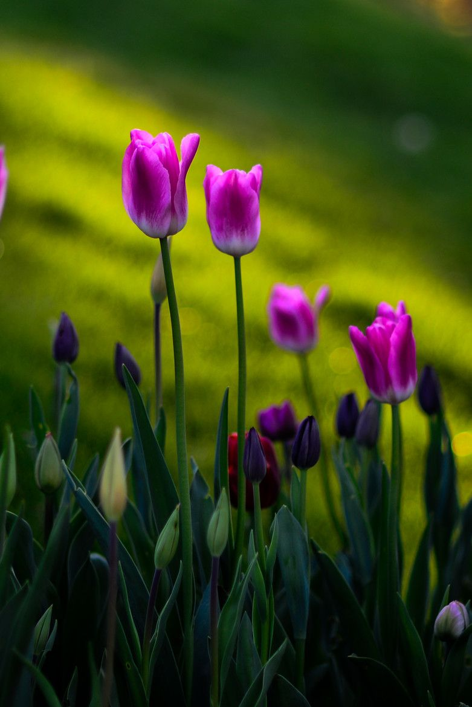 Imickeyd Tulips By Grkan Gndodu Flores Y Plantas Pinterest