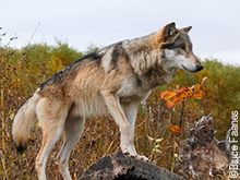 VICTORY!  Animal Planet pulls anti-wolf show!