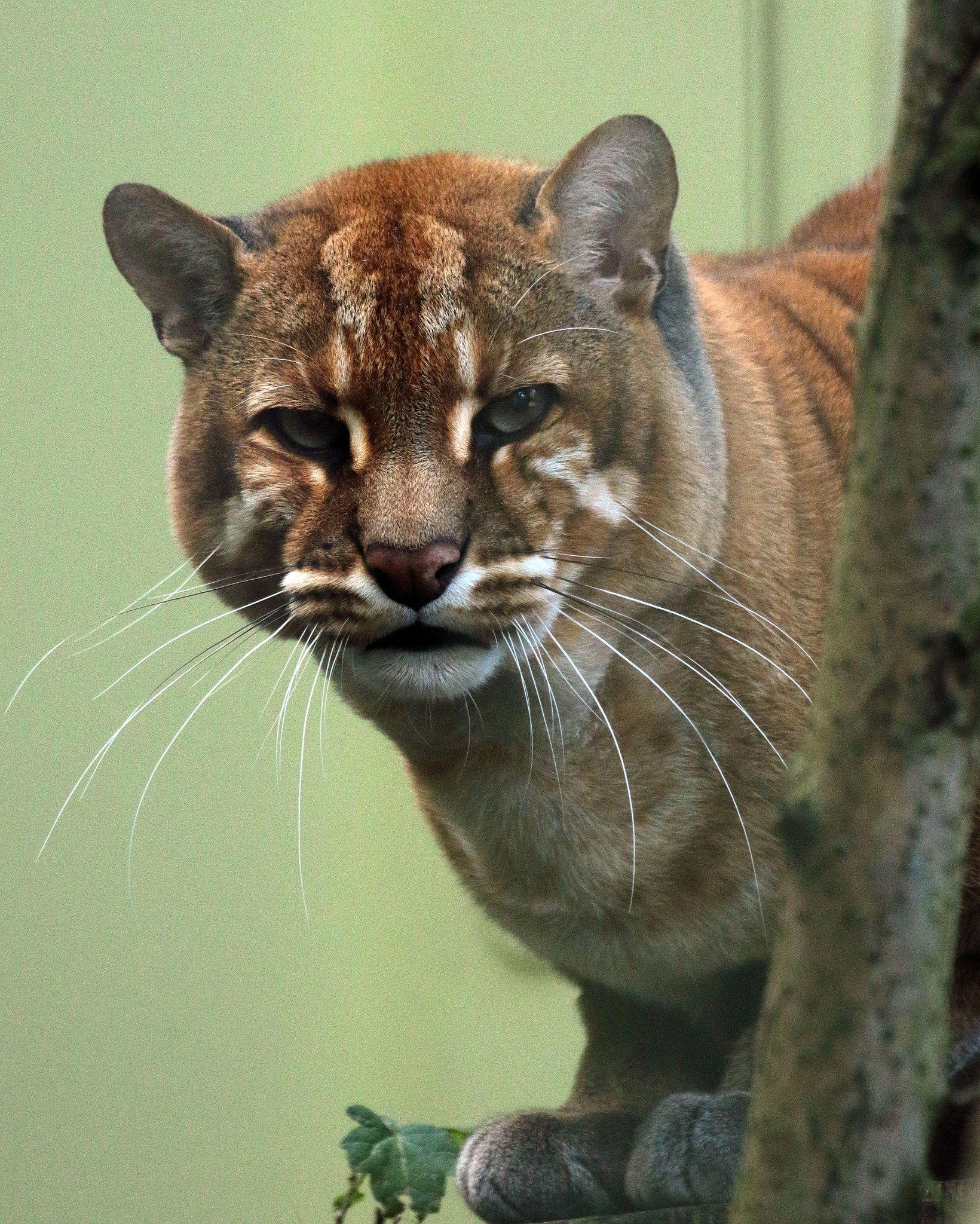 asiatic goldcat Munster JN6A4945 Asian leopard cat, Wild