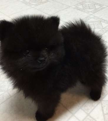 Priceless Black Male Pomeranian Puppy For Adoption From