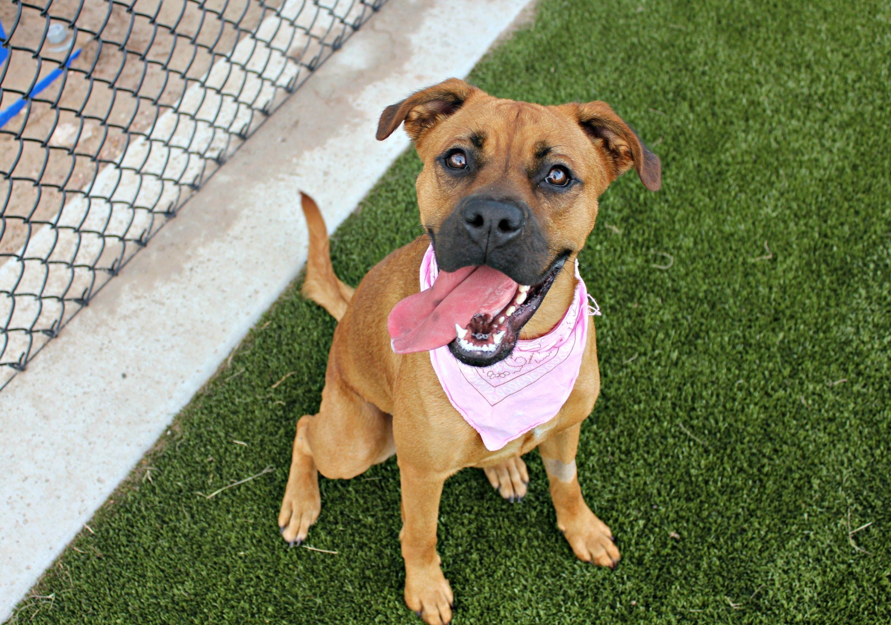 Boxer dog for Adoption in Bryan, TX. ADN547790 on