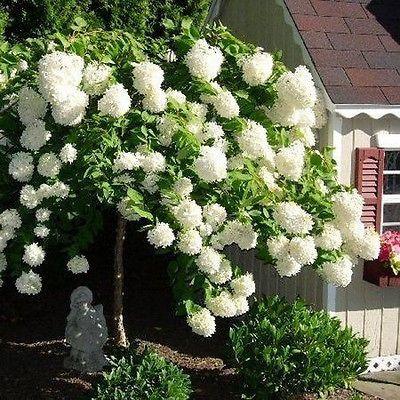 50+ Hydrangea PeeGee Grandflora Bush Seeds , Under The Sun Seeds ...