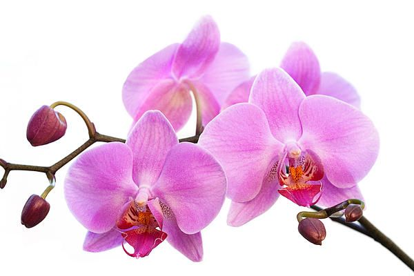 Orchid Flowers Ii Pink By Natalie Kinnear Orchid Flower Orchids Orchid Photography