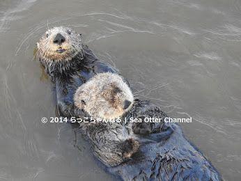 らっこちゃんねる | Sea Otter Channel - Google+