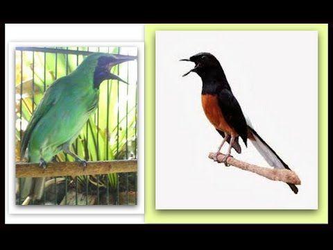 Cucak Ijo Banyuwangi Vs Murai Batu Medan Hewan Murai Burung