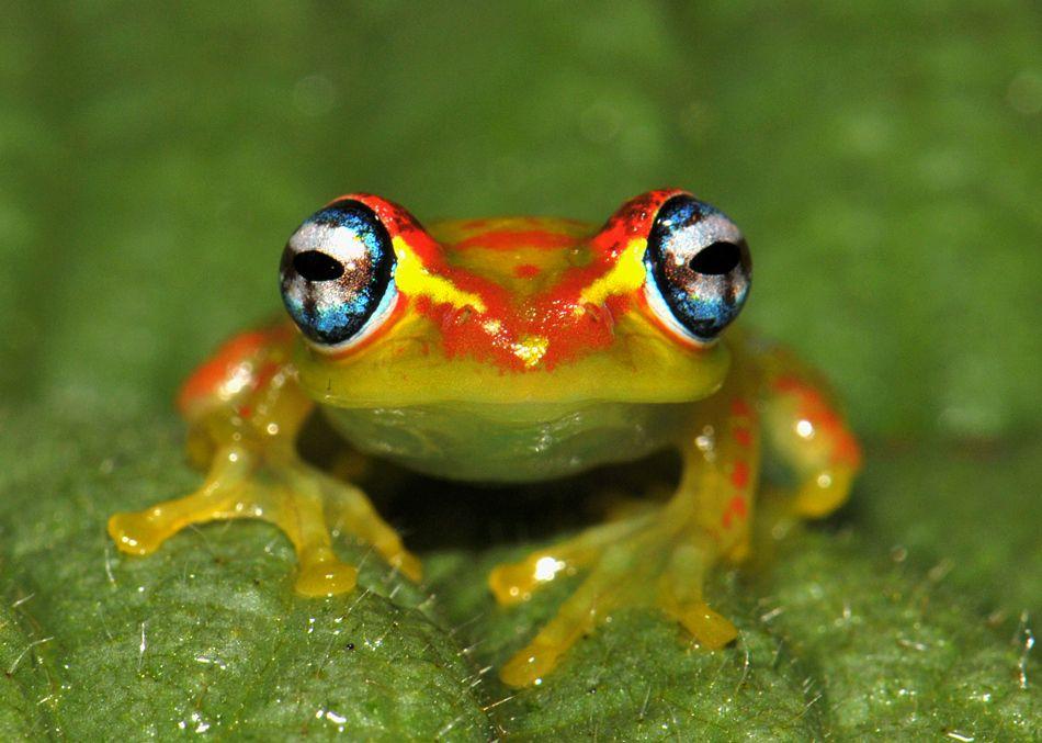 madagaskar frosch frogs pinterest fr sche frosch. Black Bedroom Furniture Sets. Home Design Ideas