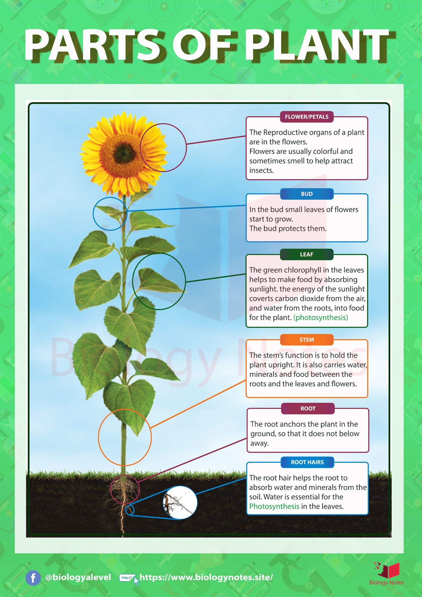 Anatomy Of Flowering Plant In