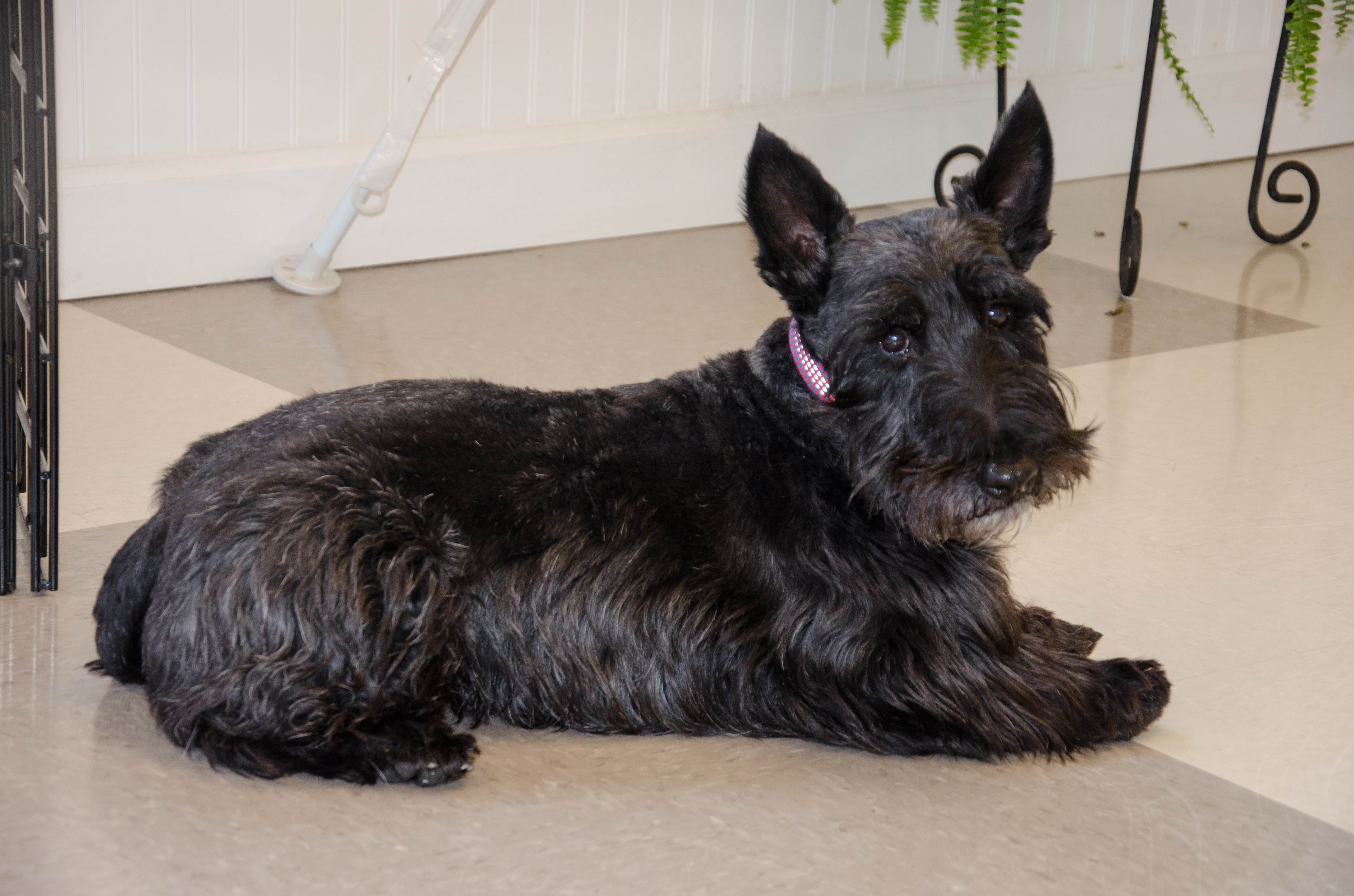 Clancy learning how to down stay in overnight boarding program  #Scottie #dogtraining #blackdog