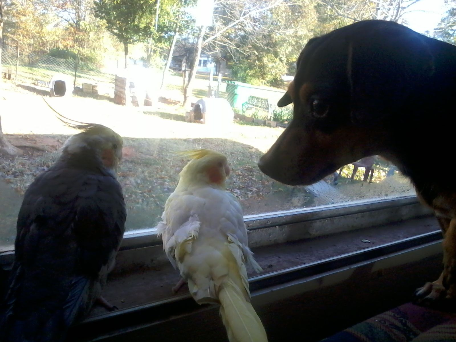 doggy checking out the cockatiels