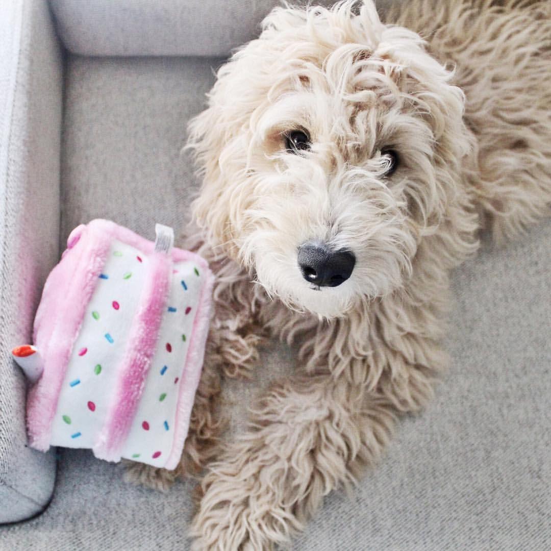 Puppy Birthday Cake Toy Www Barkleydoodles Com Mini Goldendoodle