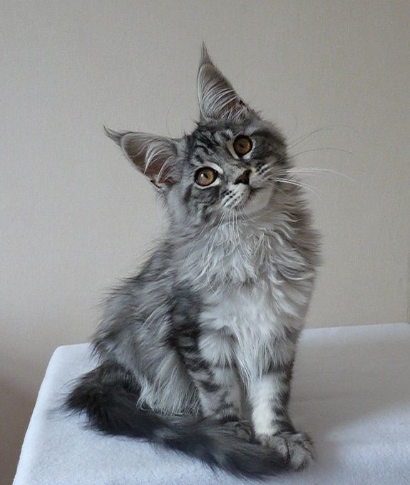 Кот мейн кун с котятами