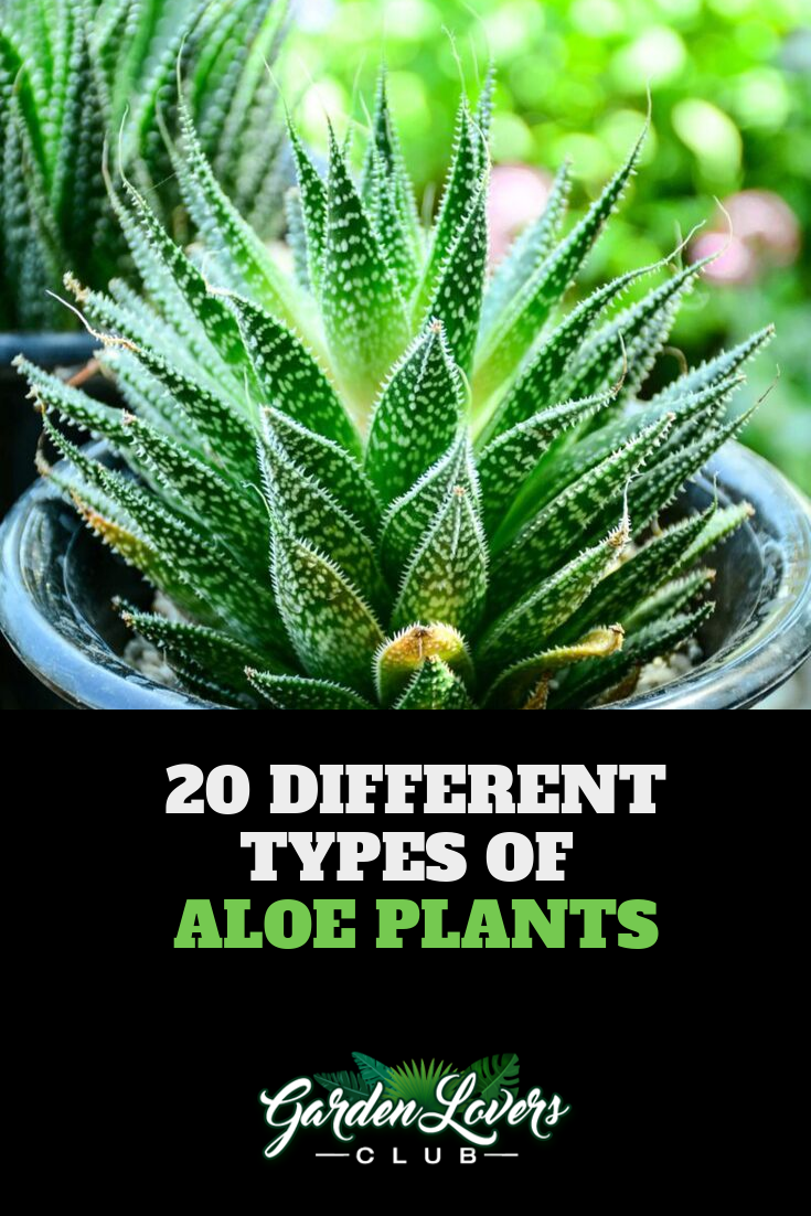 20 Different Types of Aloe Plants – Types of aloe plants