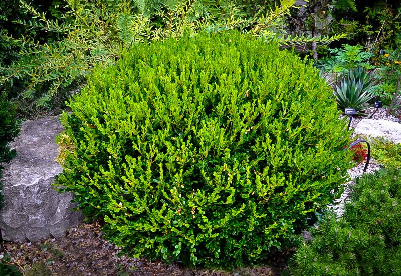 Buy Winter Gem Boxwood Online Arrive Alive Guarantee Free Shipping On All Orders Over 99 Immediate Winter Gem Boxwood Boxwood Landscaping Evergreen Shrubs