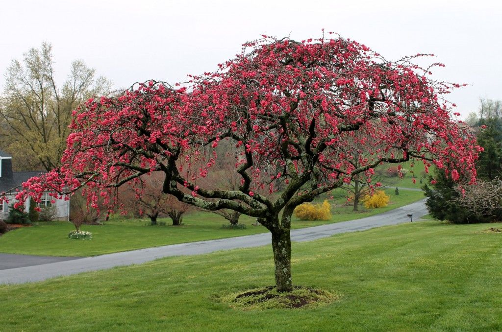 A Double Flowering Weeping Peach Tree Pink Cascade At