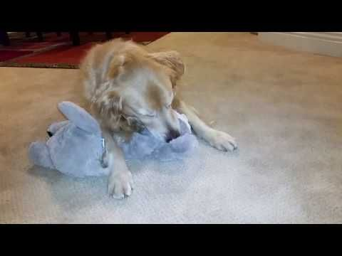 Dog Goes Crazy For New Squeak Raccoon Toy From Costco English