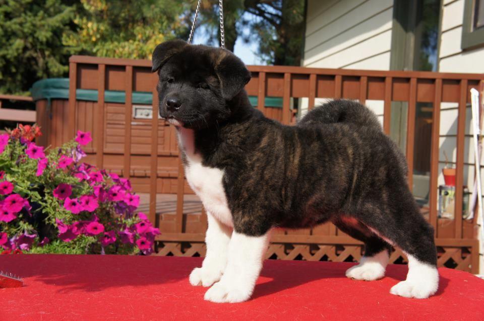 Fantastic pup! Meet 'Martini' isn't she just fab!♥ By Linda Logan Kiseki Akitas.