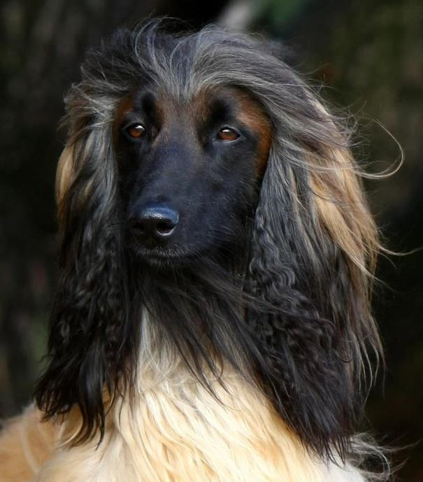 Afghan Dogs Afghan Hound Pure Breed Dogs