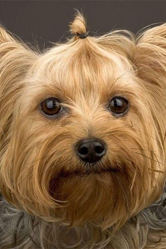 I Am a Princess Yorkie, Yorkshire terrier dog, Yorkshire