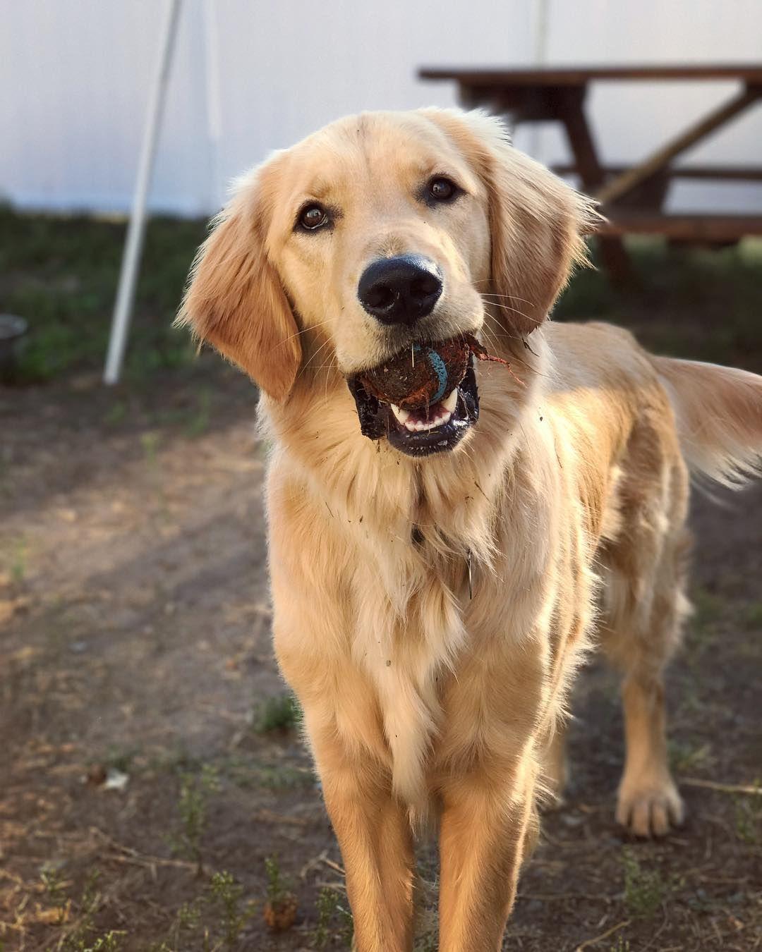 Mycah Dogs golden retriever, Golden retriever, Doggy