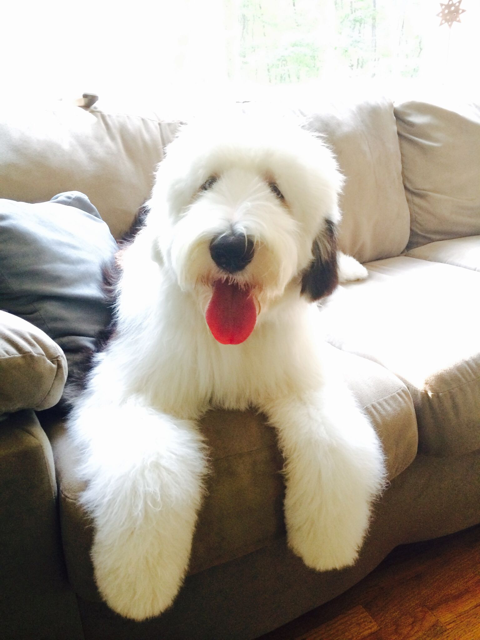 My Old English Sheepdog Fozzie Bear at 7 months old