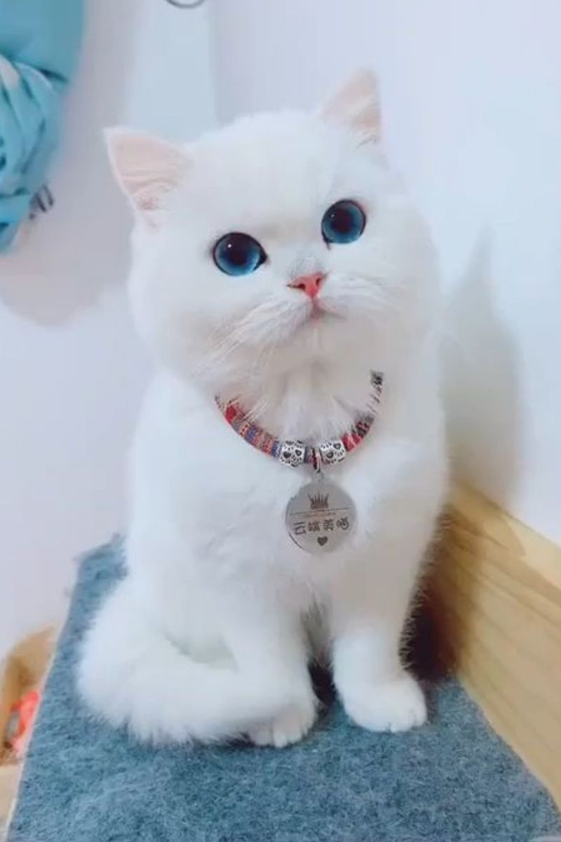 What Makes White Cats So Special In 2020 Cute Kitten Gif Cute Cats Cats