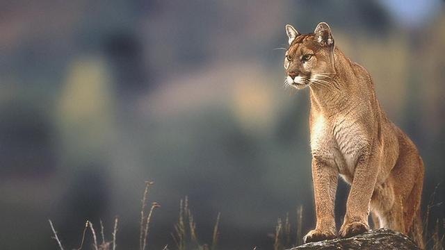 Mountain Lion Windows 98 4k Wallpapers Mountain Lion Windows 98 Spirit Animal Totem
