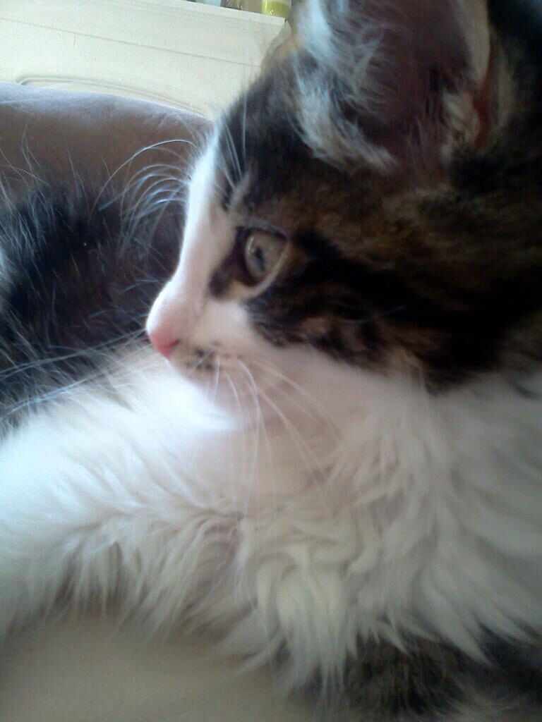 My former foster Sebastian now Gatsby He is a Norwegian Forest
