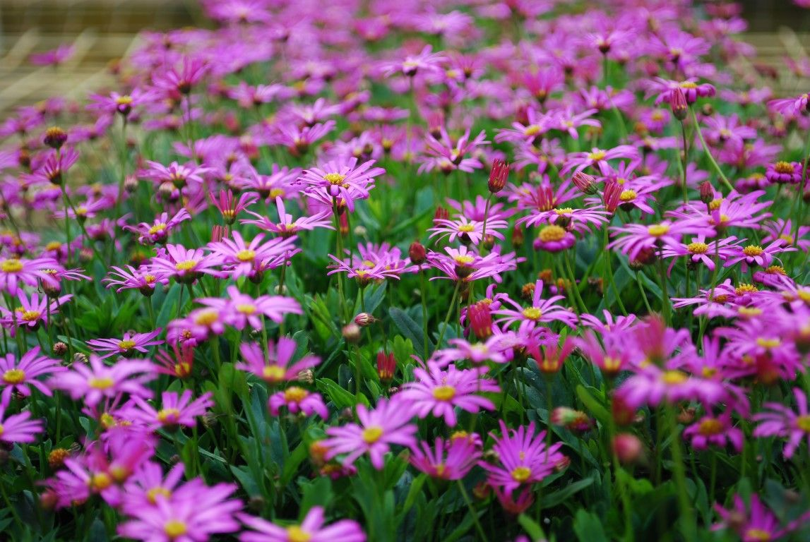 brachyscome-magenta-bliss | drought tolerant and native gardens