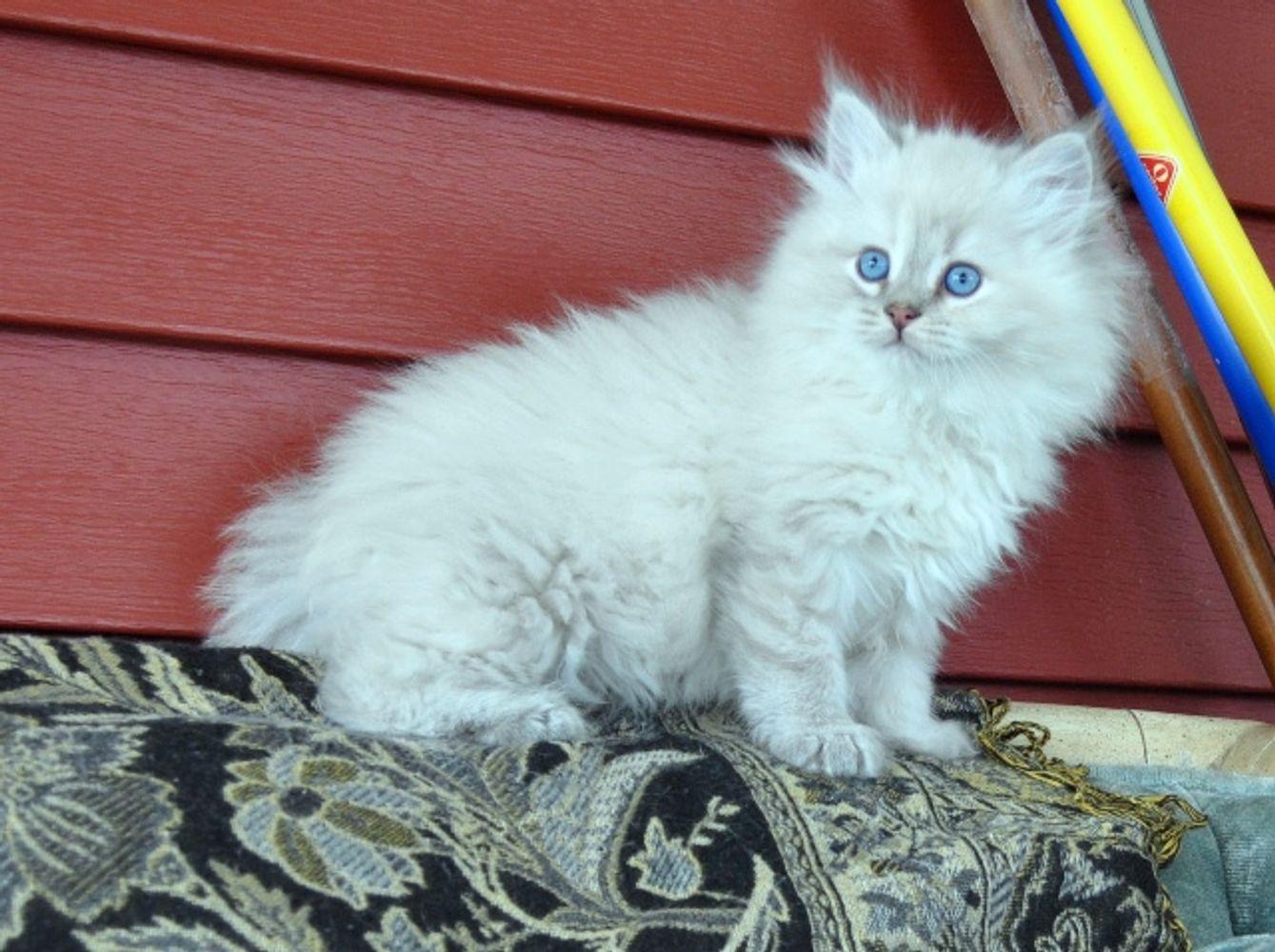 Oxsana Siberian Cats Hypoallergenic cats, hypoallergenic