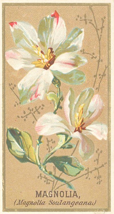 Magnolia From The Flower Series For Old Judge Cigarettes 1890 Card Art Botanical Prints Kingdom Plantae